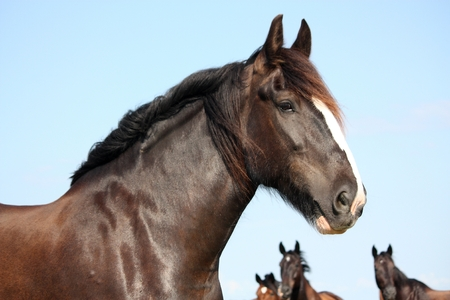 shire horse: Portrait of shire horse on sky background