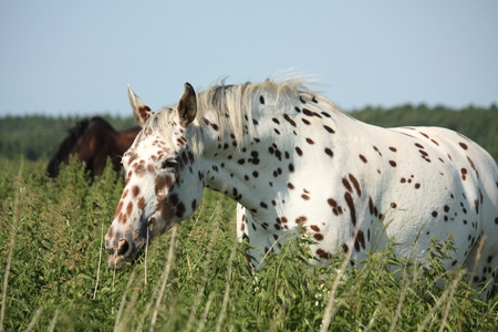 appaloosa: Portrait of knabstrupper breed horse - white with brown spots on coat Stock Photo