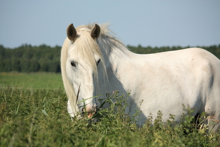 clydesdale: Beautiful white shire horse portrait at the field Stock Photo
