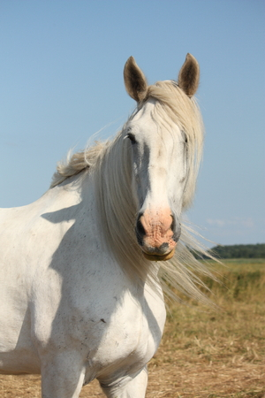 shire horse: Beautiful white shire horse portrait at the field Stock Photo