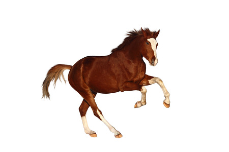 cantering horse: Chestnut horse galloping free  isolated on white background Stock Photo