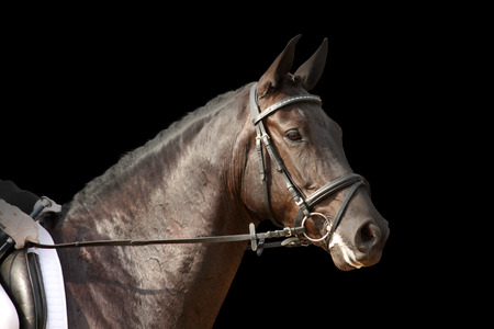 bridle: Black sport horse portrait with bridle isolated on black background