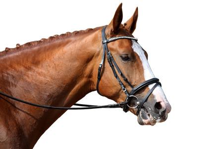 Chestnut sport horse portrait isolated on white background Stock Photo