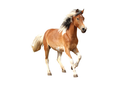 cantering horse: Skewbald horse galloping free isolated on white background Stock Photo