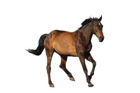 cantering horse: Bay sport horse galloping isolated on white background Stock Photo
