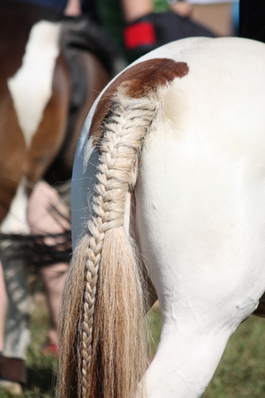 skewbald: Painted horse braided tail close up