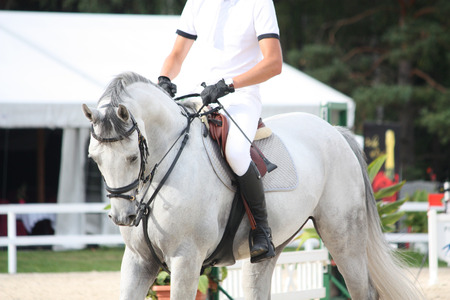 gelding: Portraot of white horse during show competition
