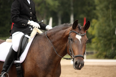 Brown sport horse portrait during dressage competition Stock Photo