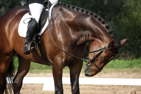 girth: Brown sport horse portrait during dressage competition Stock Photo