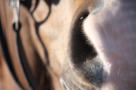 bridle: Close up of brown horse head with bridle