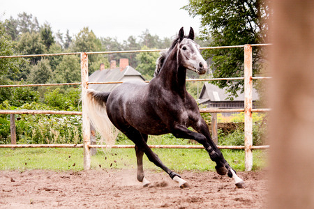 cantering horse: Happy energetic gray horse running in summer