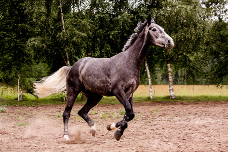 Happy energetic gray horse running free in summer Stock Photo