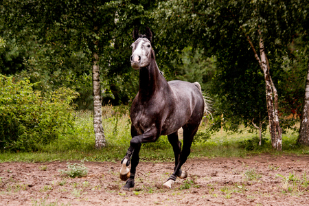cantering horse: Happy energetic gray horse running free in summer Stock Photo