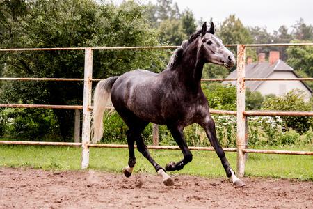 gelding: Happy energetic gray horse running in summer