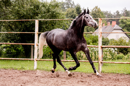 Happy energetic gray horse running in summer