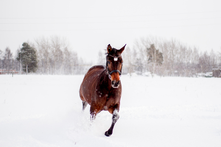 gait: Beautiful brown horse running in the snow blizzard Stock Photo