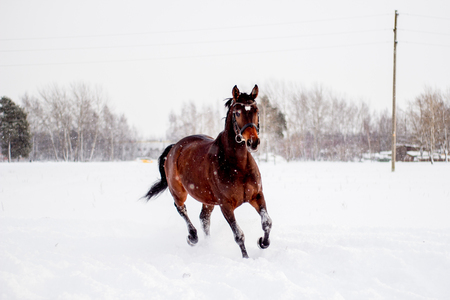 horse in snow: Beautiful brown horse running in the snow blizzard Stock Photo