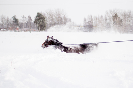 levantandose: Brown horse falling in to the snow in bilzzard and getting up