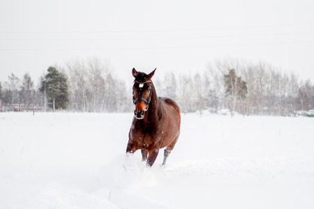 a blizzard: Beautiful brown horse running in the snow blizzard Stock Photo