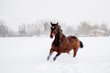 gelding: Beautiful brown horse running in the snow blizzard Stock Photo