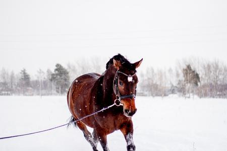 Beautiful running bay horse portrait in winter field Stock Photo