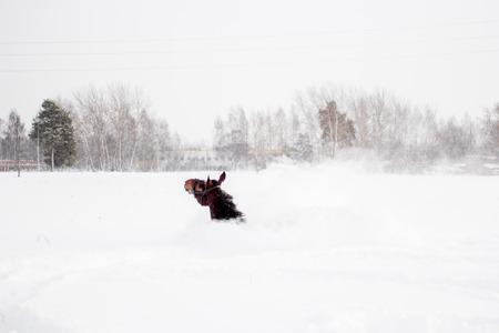 levantandose: Caballo de Brown que cae en la nieve en bilzzard y levantarse