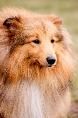 sheepdog: Portrait of adorable shetland sheepdog
