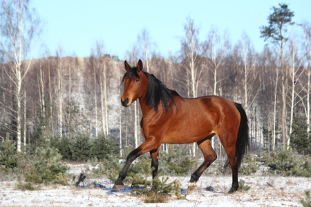 trotting: Beautiful bay horse trotting free in winter Stock Photo