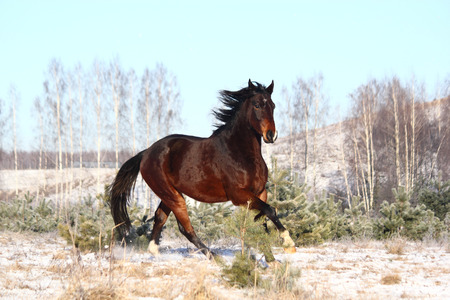 cantering horse: Brown horse galloping free in winter Stock Photo