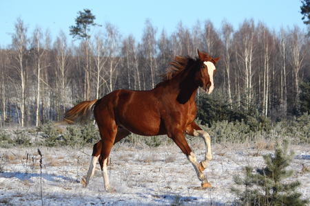 Chestnut horse galloping free in winter forest
