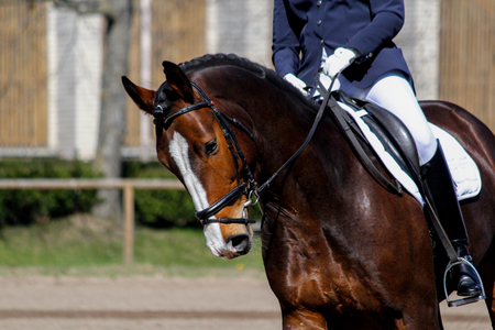Portrait of brown sport horse during dressage show