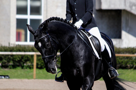 Portrait of black sport horse during dressage show