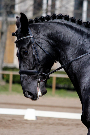 Portrait of black sport horse during dressage show