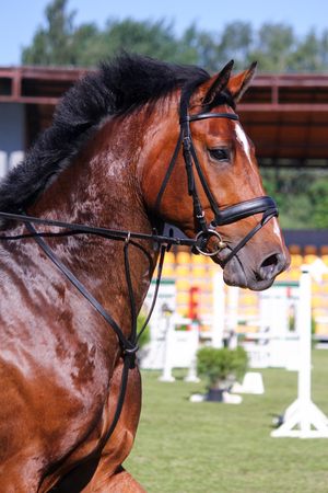 Portrait of brown sport horse during jumping show in tack