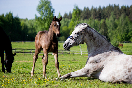 Small brown foal near his napping mother in summer Stock Photo