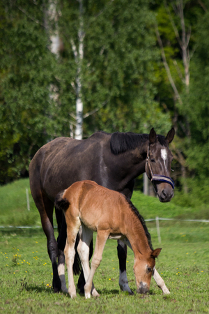 Foal and its mother in the pasture in summer