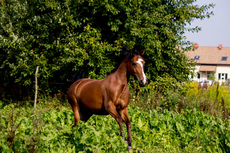 Bay arabian mare galloping at the pasture in summer