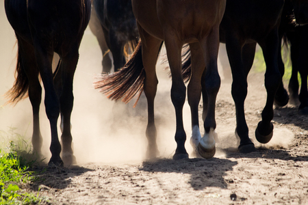 Close up of horse herd walking to the pasture on dusty road