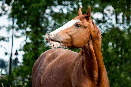 Portrait of funny chestnut horse smiling happy