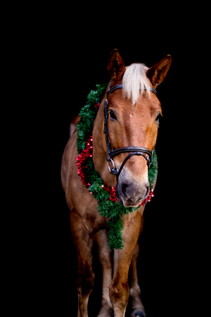 Portrait of horse with chrsitmas wreath isolated on black background Stock Photo