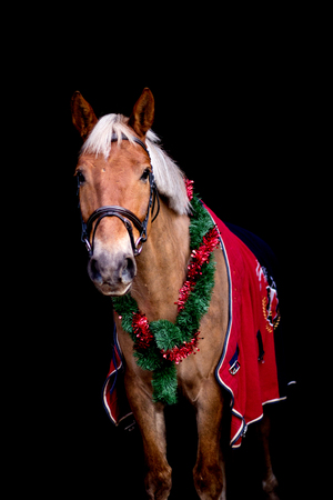 Portrait of palomino horse with chrsitmas wreath and red rug