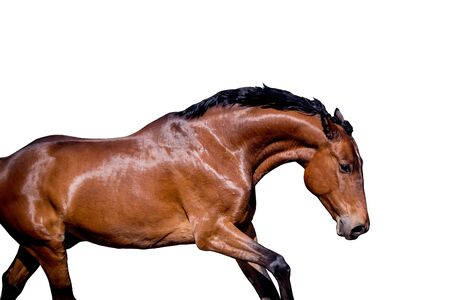 Brown horse running portrait isolated on white background