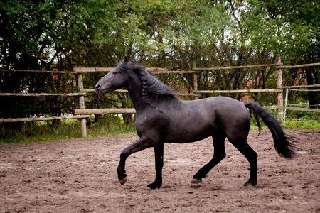 Beautiful friesian horse  trotting free in the paddock