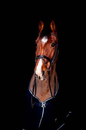 Portrait of beautiful bay sport horse in dark rug on black background Reklamní fotografie