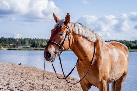Cute palomino horse portrait on the beach in summer