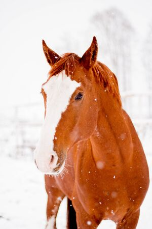 Beautiful chestnut red horse portrait in winter in snowfall