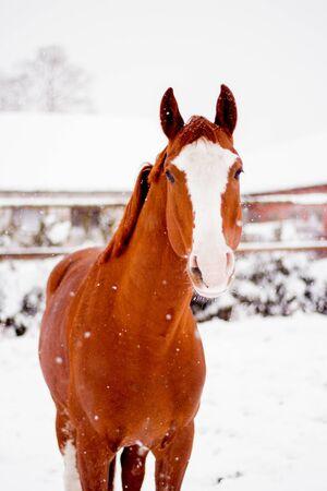 Hermoso retrato de caballo rojo castaño en invierno en la nieve Foto de archivo