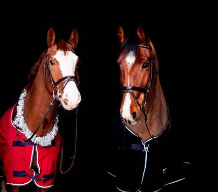 Portrait of two beautiful horses in rugs on black background