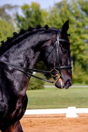 Portrait of black dressage sport horse in the arena Reklamní fotografie