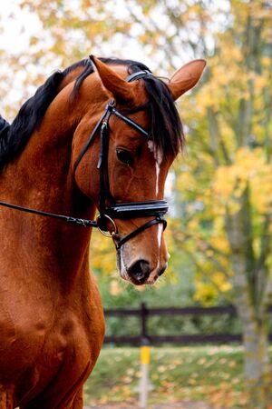 Portrait of beautiful light bay dressage horse in autumn Reklamní fotografie